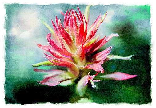 Indian Paintbrush by Yolanda Nussdorfer
