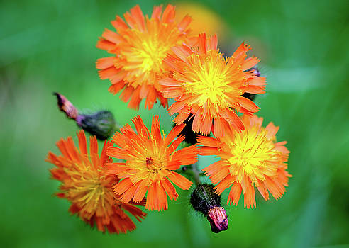 Indian Paintbrushes by Lance King