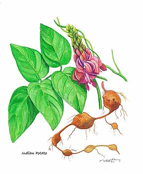 Indian Potato - Apios americana by Michael Earney
