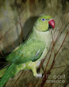 Indian Ringneck Parrot by Judy Palkimas
