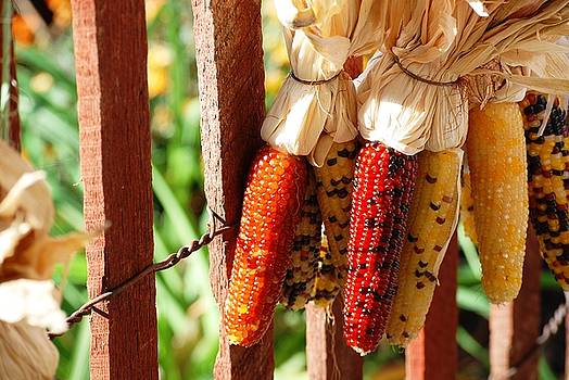 Indian Summer Corn by Peter  McIntosh