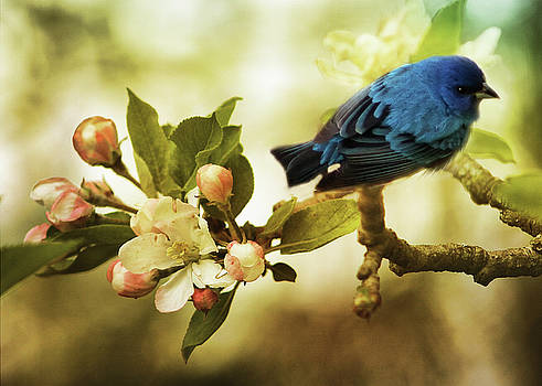 Indigo Bunting and Apple Blossoms by TnBackroadsPhotos