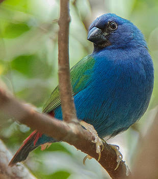 Dee Carpenter - Indigo Bunting