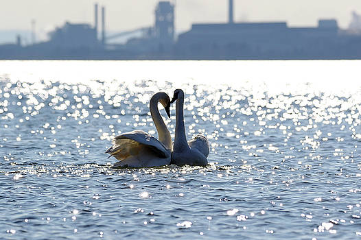 Industrial Swans by Jim Nelson
