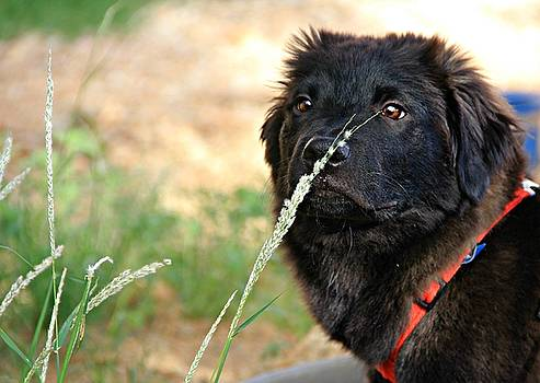Sniffing Puppy  by Kimmi Craig