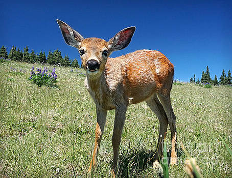 Inquisitive Blacktail Fawn by Martin Konopacki