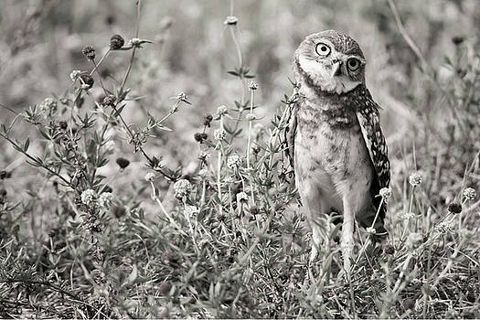 Inquisitive Burrowing Owl by Tracy Winter