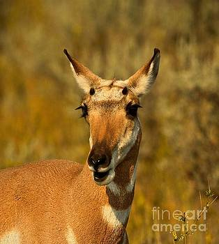Adam Jewell - Inquisitive Pronghorn