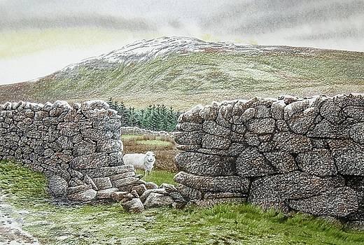 Inquisitive sheep near Arennig Fawr by Alwyn Dempster Jones