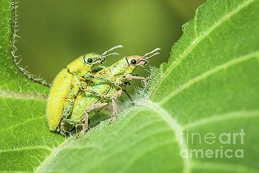 Insect mating by Tosporn Preede