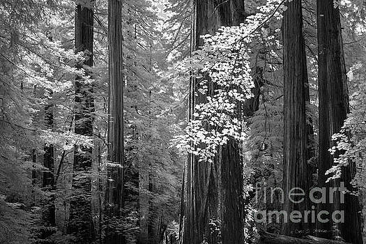Inside the Groves of the Redwoods by Craig J Satterlee