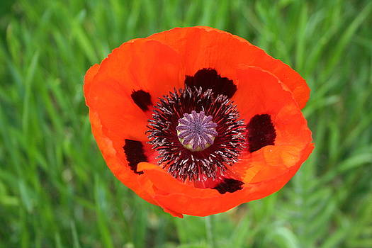 Inside the Poppy by Susan Pedrini