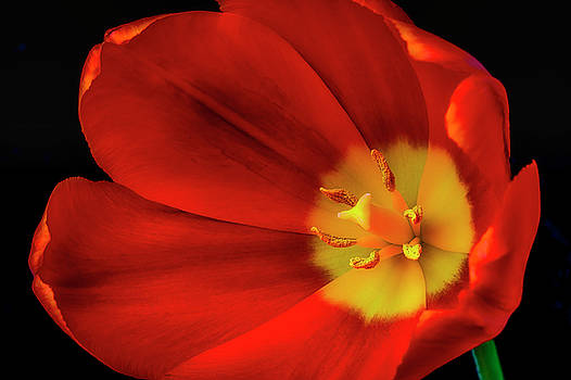 Inside The Tulip by Garry Gay