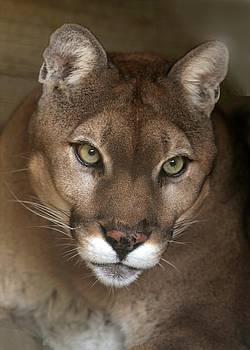 Sabrina L Ryan - Intense Cougar