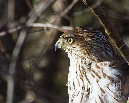 Intense Hawk by Lloyd Alexander