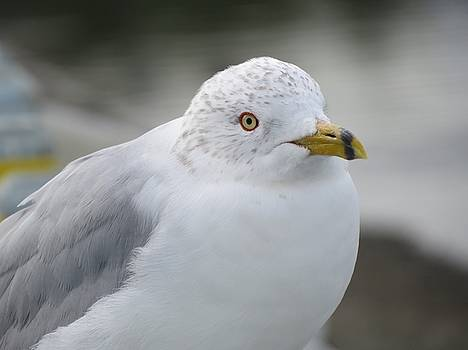 Intense Seagull by Phil Bearce