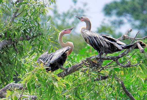 Interacting Young Anhingas by Rosalie Scanlon