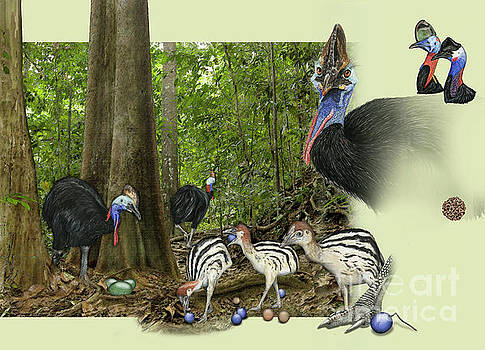 Zoo Nature Interpretation Panel Cassowaries Blue Quandong by Urft Valley Art