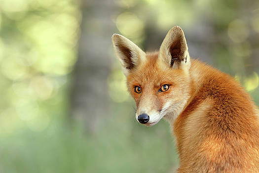Into Your Soul - Red Fox looking over her shoulder by Roeselien Raimond