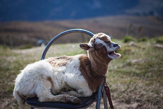 Tim Ford - Ireland Goat
