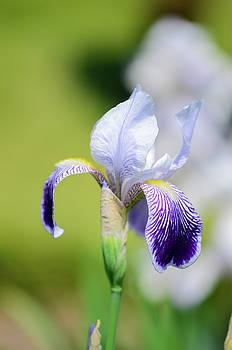 Iris 1 by Jennifer Wartsky