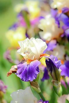 Iris 3 by Jennifer Wartsky