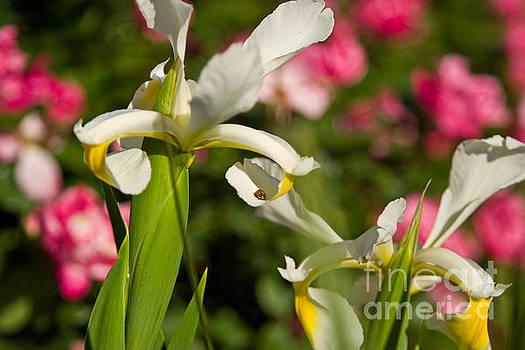 Iris with Ladybug by Julia Rigler