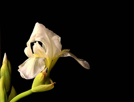 Iris by Charles Bacon Jr