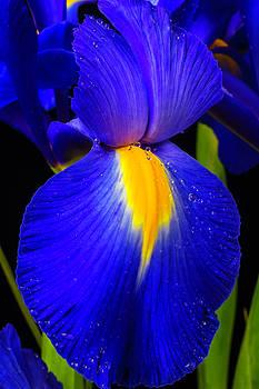 Iris Dutch Blue by Garry Gay