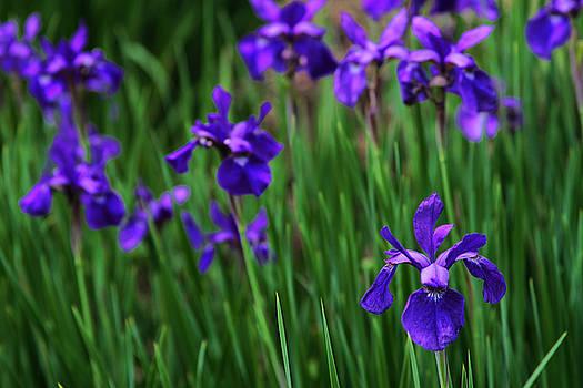 Iris Field by Donna Betancourt