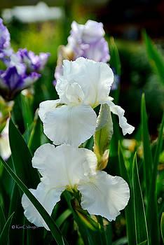 Iris/Germanica Immortality by Kae Cheatham