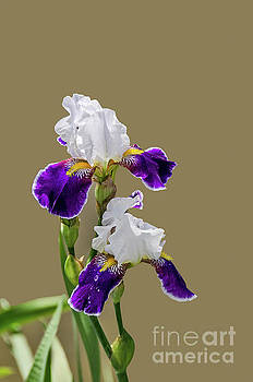 Iris germanica in Purple and White by Sue Smith