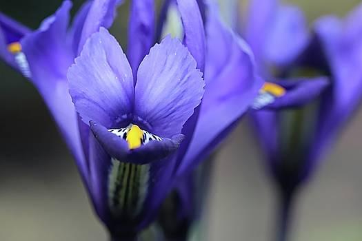 Iris Harmony by Andrew Mcdermott