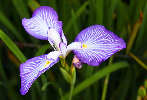 Iris in Violet by Jason Rossi