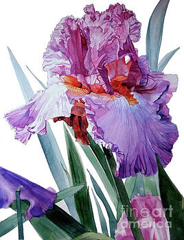 Watercolor of a Tall Bearded Iris in Pink, Lilac and Red I call Iris Pavarotti by Greta Corens
