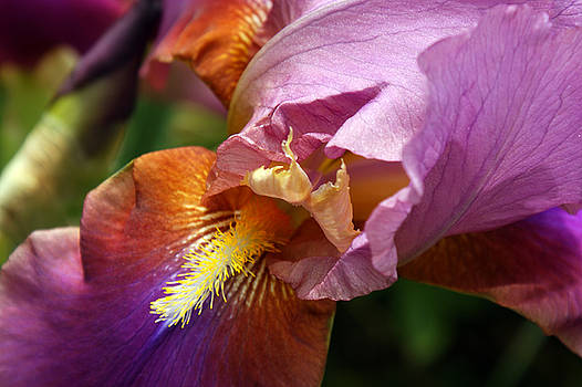 Iris by Off The Beaten Path Photography - Andrew Alexander