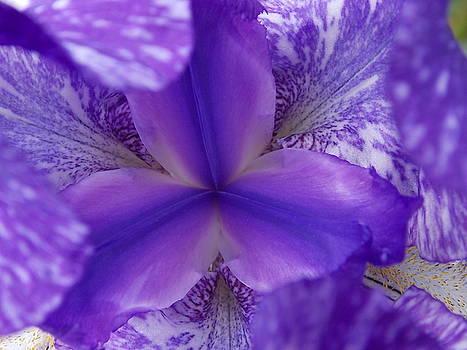Iris Peek-a-Boo by Coleen Harty