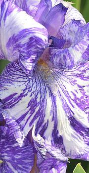 Iris by Phyllis Britton