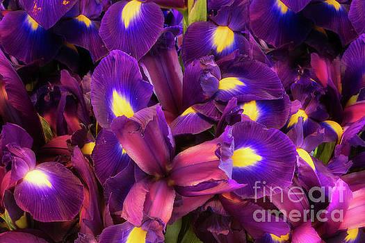 Iris Plethora by Jerry Fornarotto
