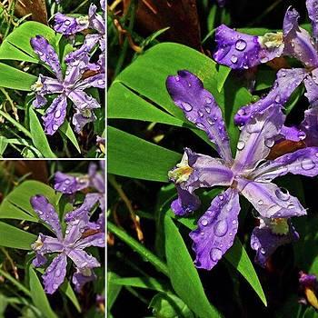 #iris #purpleiris #purpleflower by Lisa Pearlman