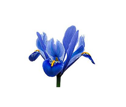 Paul Gulliver - Iris Recticulata Transparent Background