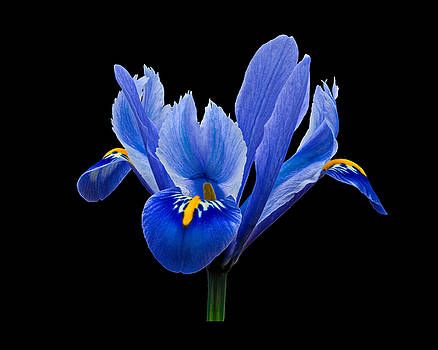 Paul Gulliver - Iris reticulata, Black Background