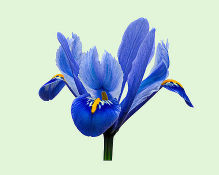 Paul Gulliver - Iris reticulata, Green background