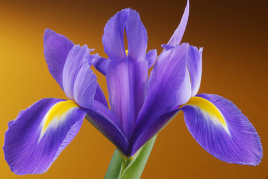 Iris by Richard Hayman