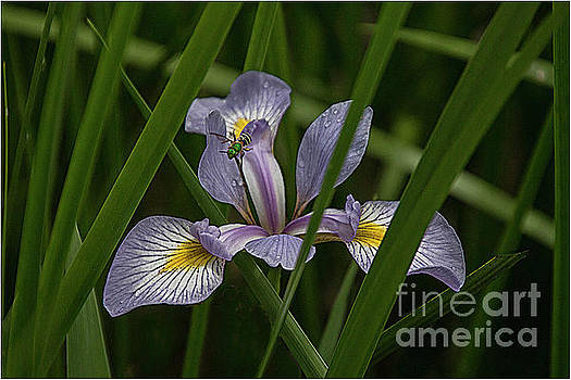 Iris with bee by Jim Wright