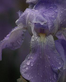 Iris with raindrops by Carla Neufeld