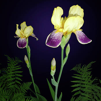 Tara Hutton - Irises In The Night Garden