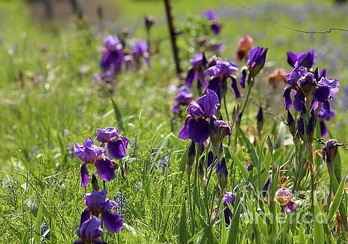 Irises by Iris Greenwell