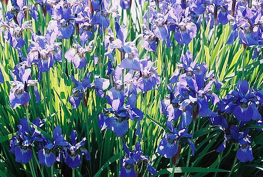 Irises by Linda Drown