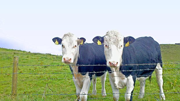 Chuck Smith - Irish Cows